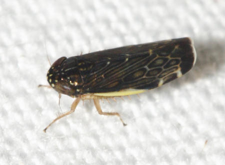 Planicephalus flavicosta