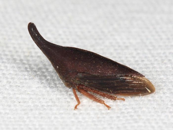 Guayaquila gracilicornis