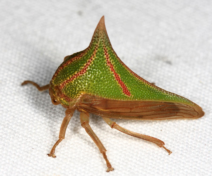Umbonia crassicornis (female)