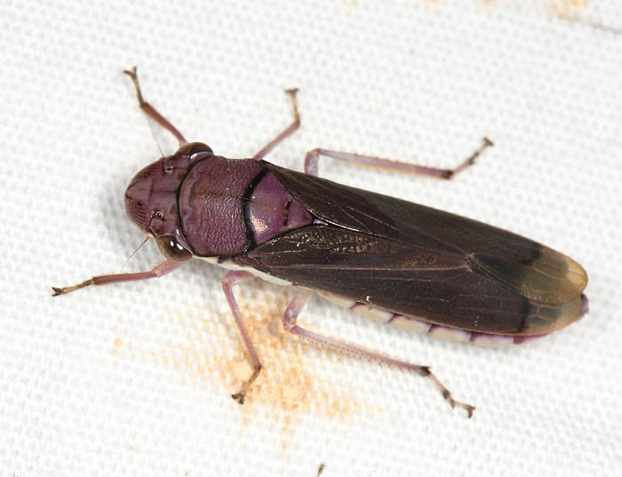 Oncometopia sp.