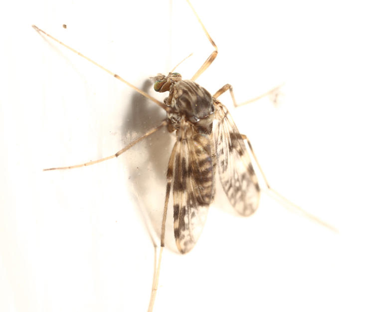 Psectrotanypus dyari