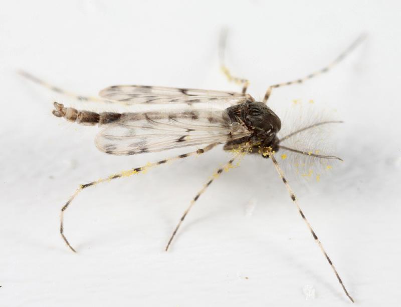 Ablabesmyia sp.