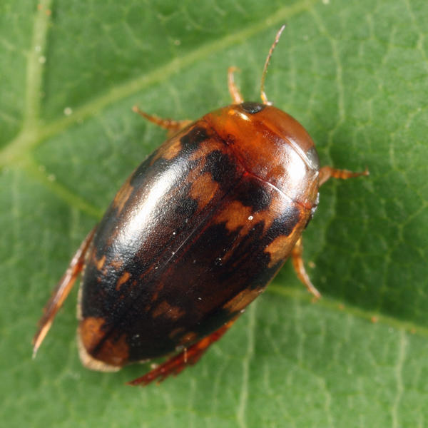 Laccophilus undatus