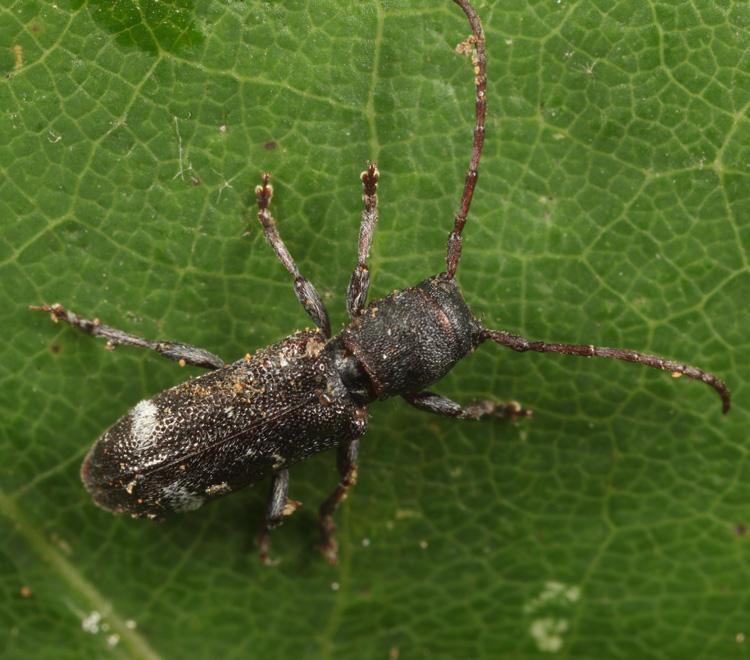 Currant-tip Borer - Psenocerus supernotatus