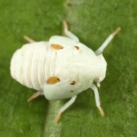 Metcalfa pruinosa (nymph)