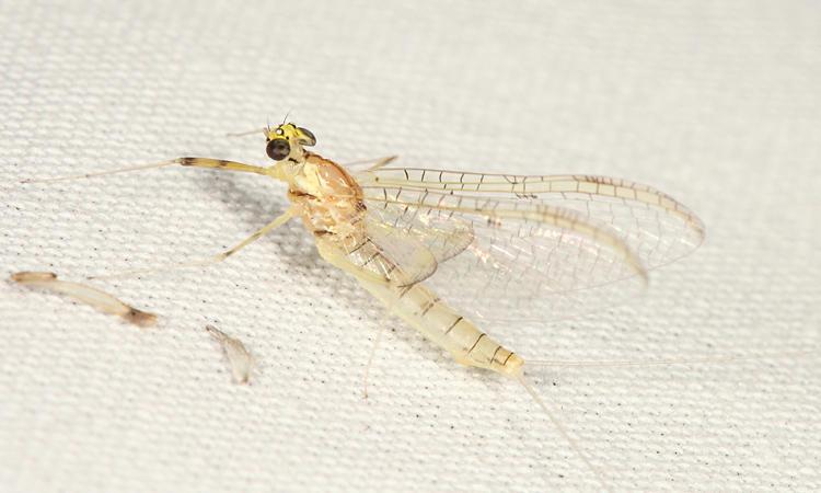 Stenacron interpunctatum (female)