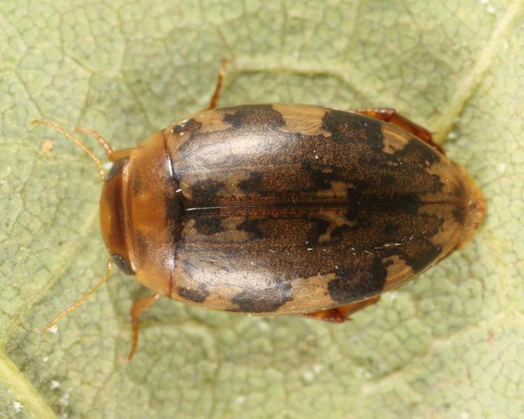 Laccophilus maculosus maculosus