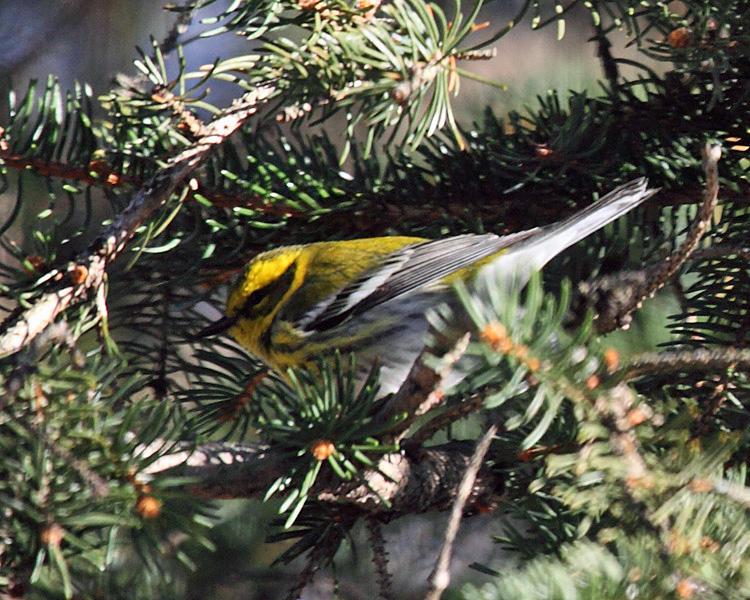 Townsends Warbler - Setophaga townsendi
