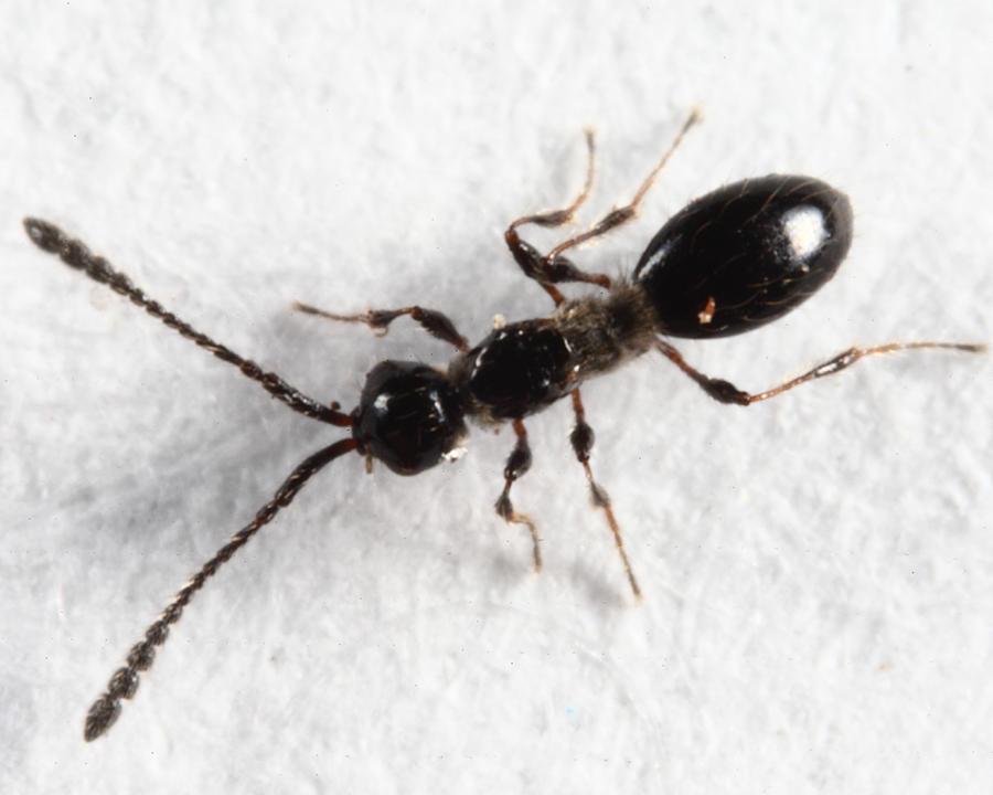 Trichopria sp. (female)