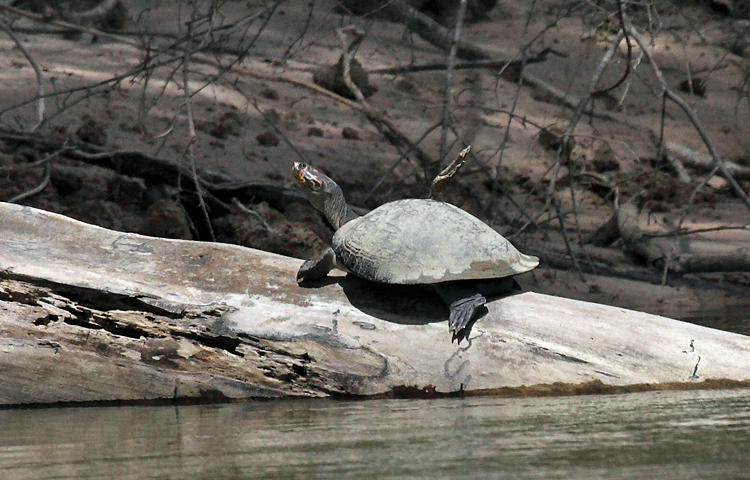 Yellow-spotted Amazon River Turtle - Podocnemis unifilis