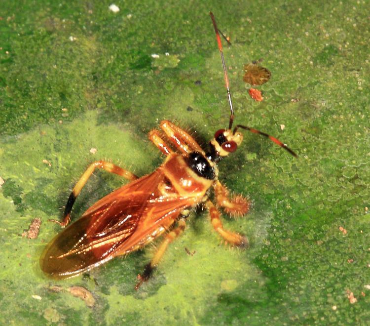 Agriocoris flavipes (Harpactorinae: Apiomerini)