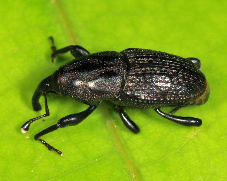 Sphenophorus zeae