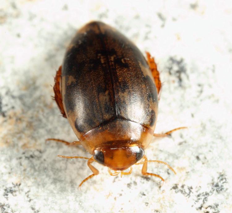Laccophilus maculosus