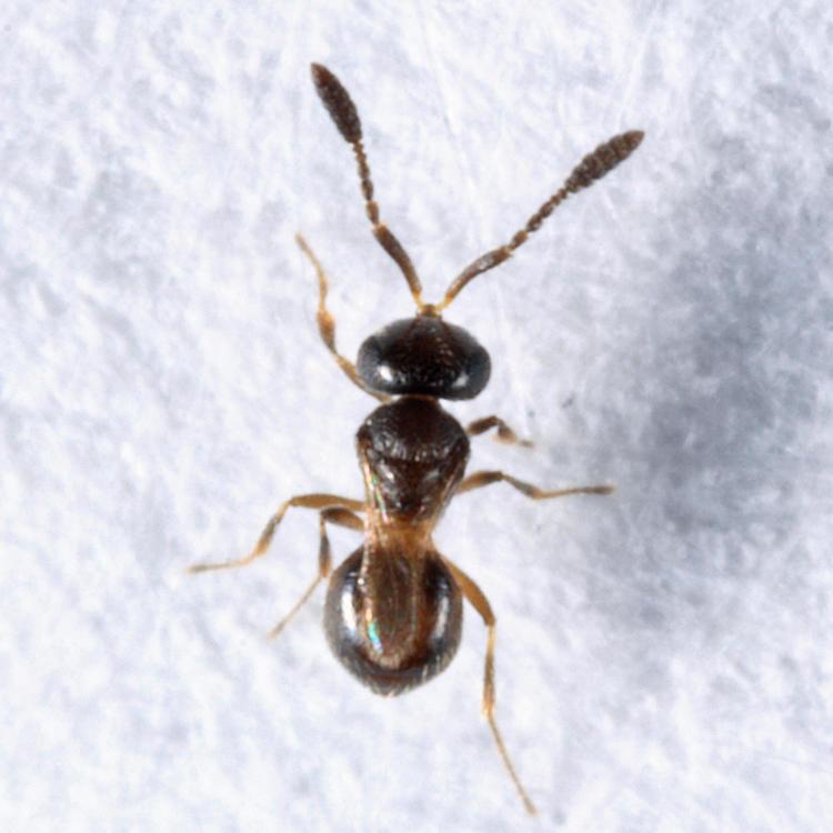 Trimorus sp. (female)