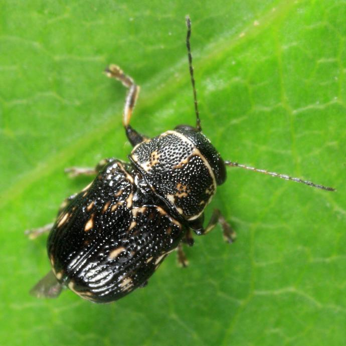 Pachybrachis atomarius