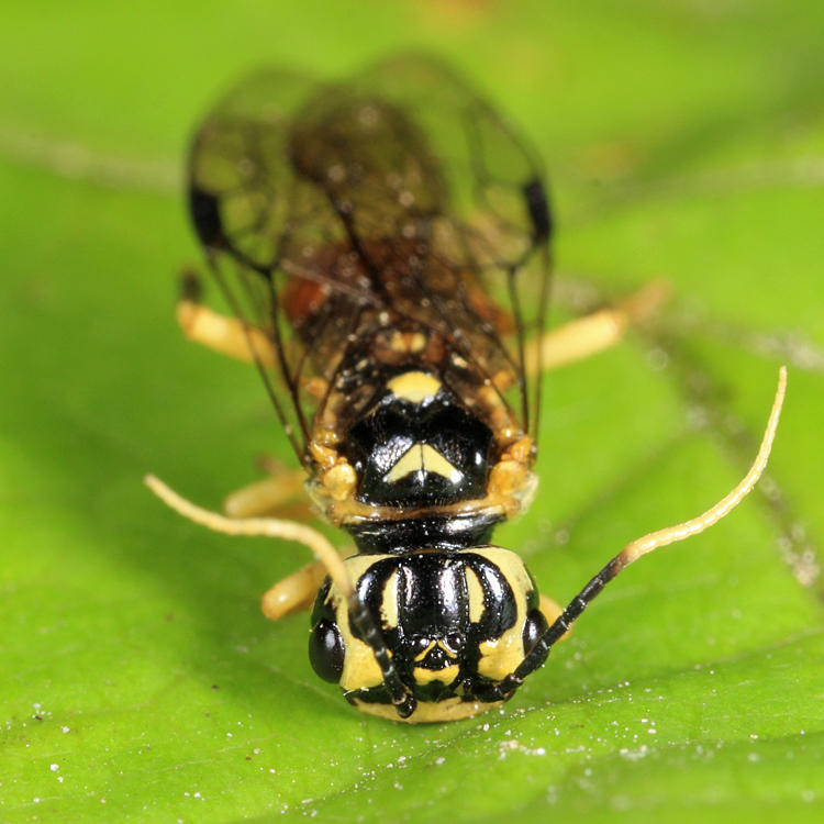 Onycholyda luteicornis