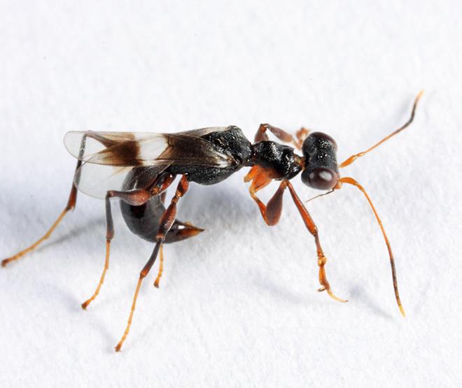 Dryinus crawfordi