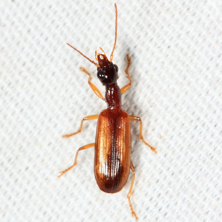 Leptotrachelus dorsalis