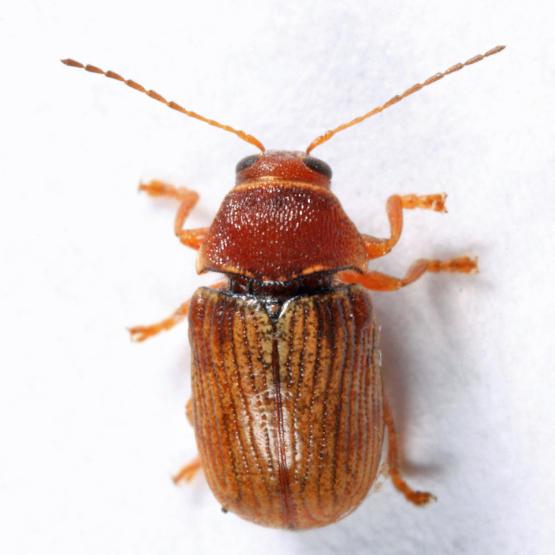 Cryptocephalus schreibersii