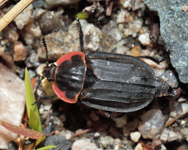Margined Carrion Beetle - Oiceoptoma noveboracense