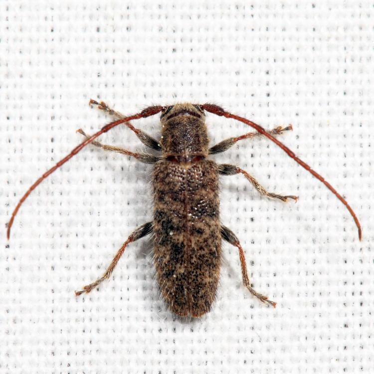 Eupogonius pauper