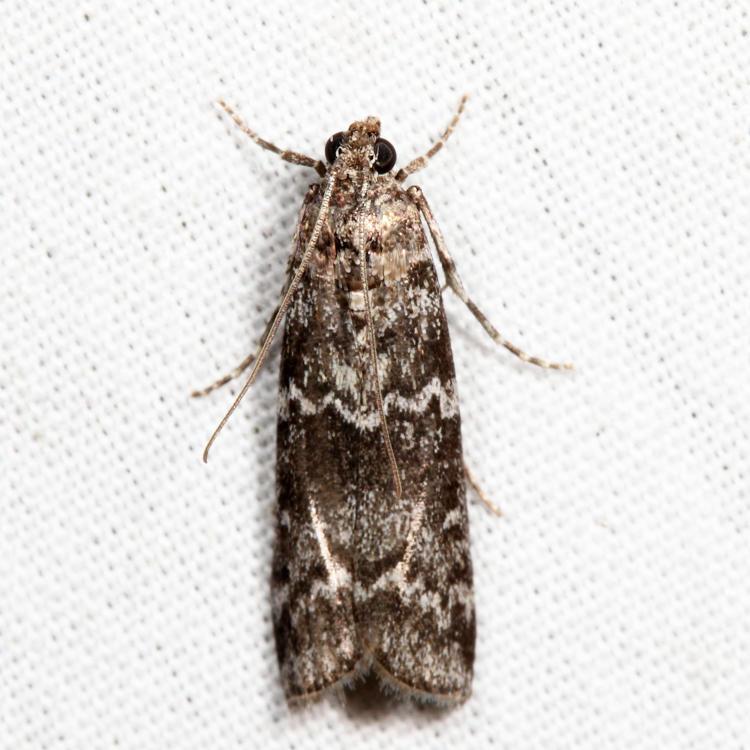 5841 - Fir Coneworm - Dioryctria abietivorella *
