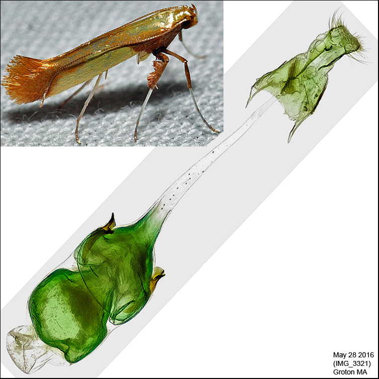 0641 - Caloptilia superbifrontella IMG_3321.jpg