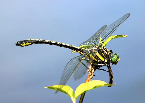 Dragonhunter - Hagenius brevistylus (male)