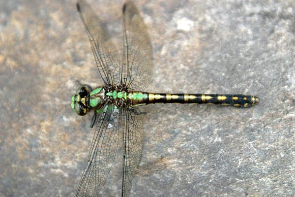 Riffle Snaketail - Ophiogomphus carolus
