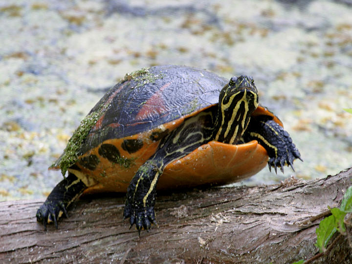 Florida Red-bellied Turtle - Chrysemys nelsoni