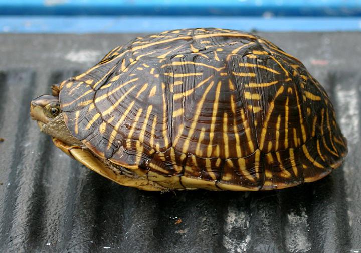 Florida Box Turtle - Terrapene carolina