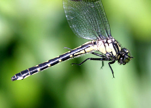 Mustached Clubtail - Gomphus adelphus (female)