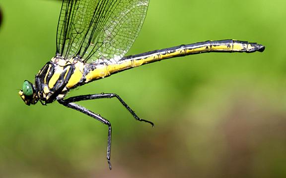 Dragonhunter - Hagenius brevistylus (female)