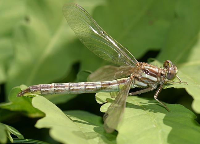 Lancet Clubtail - Gomphus exilis (teneral)