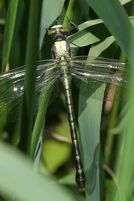 Dragonhunter - Hagenius brevistylus (teneral)