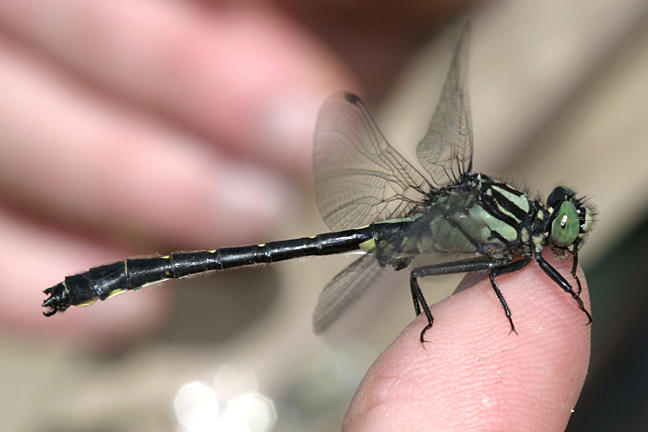 Mustached Clubtail - Gomphus adelphus