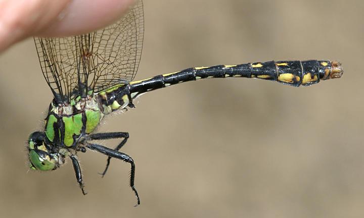Maine Snaketail - Ophiogomphus mainensis