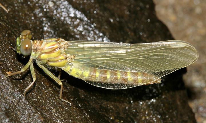 Eastern Least Clubtail - Stylogomphus albistylus (teneral)