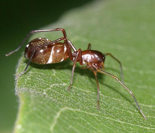 Myrmecotypus lineatus