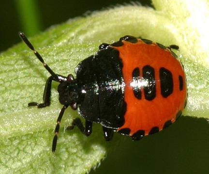 White-margined Burrower Bug nymph - Sehirus cinctus
