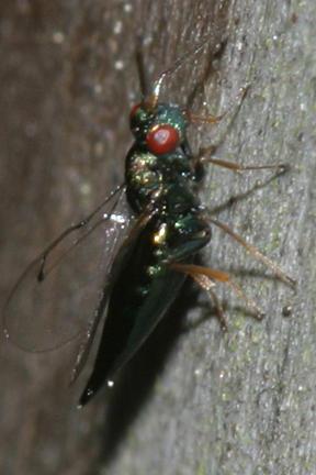 Pteromalid wasp