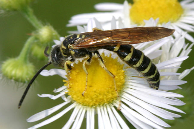 Five-banded Tiphiid Wasp - Myzinum quinquecinctum (male)