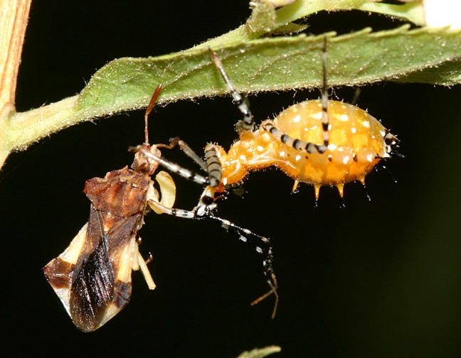 The orange one at right is a nymph of Pselliopus sp. The victim is an adult ambush bug - Phymata pennsylvanica