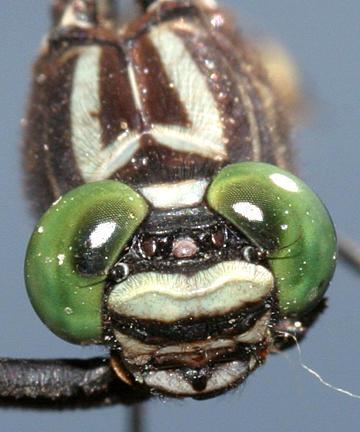 Cobra Clubtail - Gomphus vastus