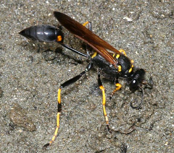 Sceliphron caementarium - Black and Yellow Mud Dauber