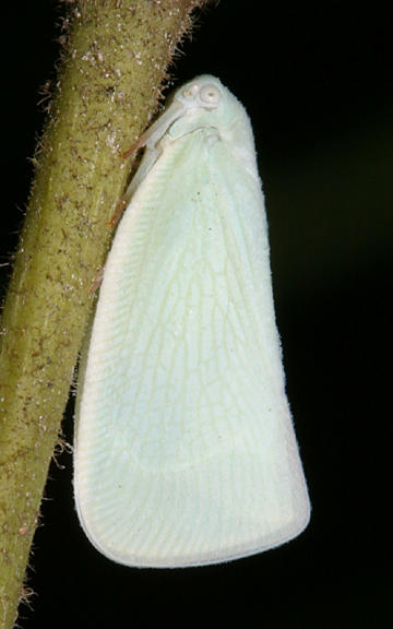 Anormenis chloris