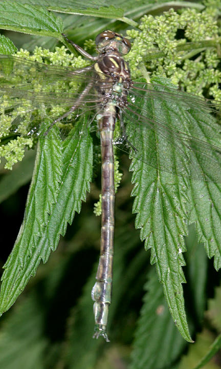 Arrow Clubtail - Stylurus spiniceps (teneral)