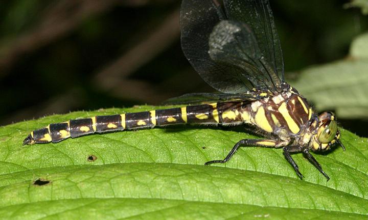 Zebra Clubtail - Stylurus scudderi (female)