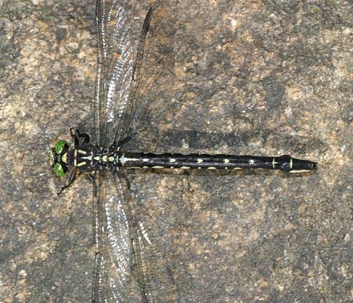 Arrow Clubtail - Stylurus spiniceps (female)