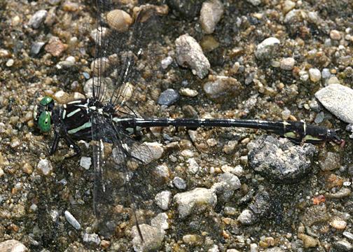 Arrow Clubtail - Stylurus spiniceps (male)